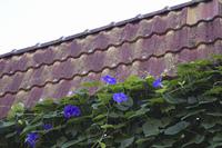 住宅の垣根に咲くアサガオの花