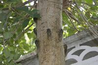 木にとまるセミ