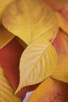 黄葉した桜の葉