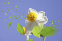 水仙と葉っぱ