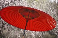 野点傘と梅
