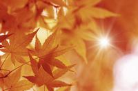 楓の紅葉イメージ