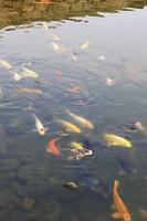 萩城跡の鯉