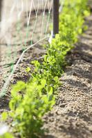 野菜畑の新芽