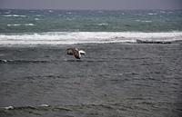 厳寒の江差・ウミネコ