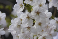 桜花新芽と花アップ