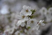 桜花新芽と花のアップ