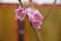 金屏風と桃の花のアップ