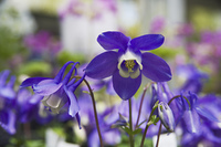 深山オダマキの紫の花