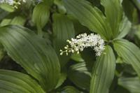 大葉雪笹の白い花