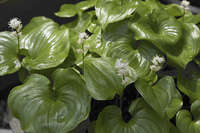 大葉舞鶴草の葉と白い花