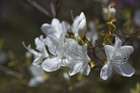 白いツツジの花アップ