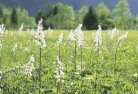 草原の白い花