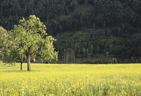 黄色い草原の木