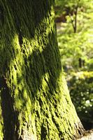 苔むした樹