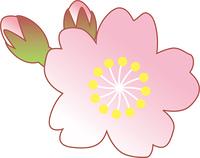 五分咲きの桜の花