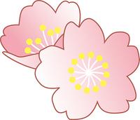 八分咲きの桜の花