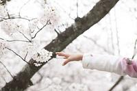 桜に手をのばす手