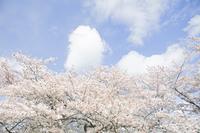 桜と青空のイメージ