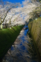 金沢城公園 夜桜