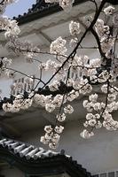 金沢城 石川門 桜