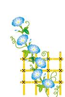 水色のアサガオの花と竹の柵