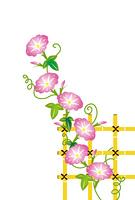 ピンクのアサガオの花と竹の柵