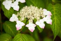 梅雨に咲く白と赤のガクアジサイの花