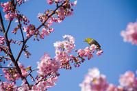 河津桜の花とメジロ