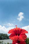 青空とハイビスカスの花