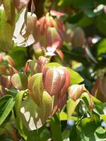 セイロンニッケイ 薬用植物