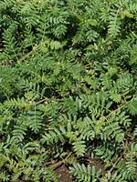 ハマビシ 薬用植物