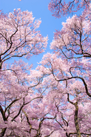 高遠城址公園の桜並木