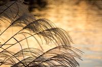 昭和記念公園水鳥の池のススキ Japanese pampas grass