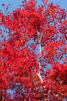 神奈川県宮ヶ瀬の紅葉 ,美しい赤い木