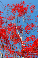 神奈川県宮ヶ瀬の紅葉 Kanagawa Prefecture Miyake shallo