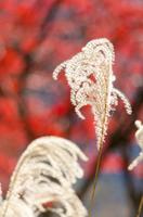 神奈川県宮ヶ瀬の紅葉とススキ Kanagawa Prefecture M
