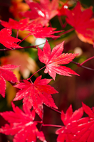 Autumn leaves of the shade of a tree. 軽井沢の紅葉