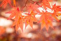 富士北麓公園の紅葉 Autumn leaves of Fuji Hokuroku park