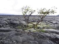 キラウエア火山の植物