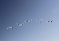 青空を飛ぶタンチョウ