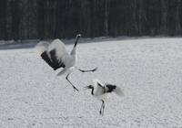 雪原に舞うタンチョウ