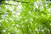 新緑の楓の森