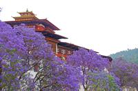 ジャカランダの花が咲くプナカゾン