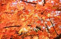 紅葉/もみじ狩り