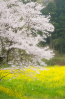 千葉県市原市・サクラとナノハナの素朴な風景