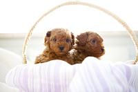 かごに入ったトイプードルの赤ちゃん2匹