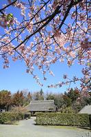 河津桜と古民家