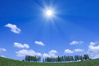 白樺並木と太陽