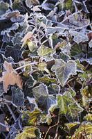 霜の降りたアイビー